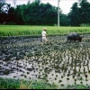 tai_chung_rice_field_plow_1.jpg
